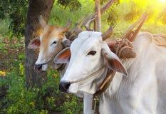 Two asian oxen close-up Stock Photos