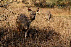 Two asian sambar female deers Stock Photos