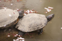Two Asian turtles. Japanese type, resting on shore of pond with floating cherry blossom petals Royalty Free Stock Images