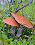 Two aspen mushrooms Stock Photo