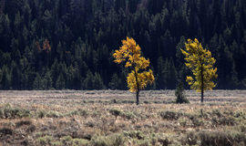 Two Aspen trees Royalty Free Stock Photography