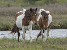 Two Assateague Wild Horses Royalty Free Stock Photos