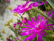 Two aster amellus Stock Photo