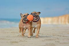 Two athletic brown French Bulldog dogs playing fetchwith ball at the beach with a maritime dog collars