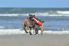 Two athletic fawn French Bulldog dogs playing fetch at the beach with a maritime dog toy