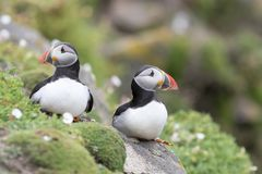 Two Atlantic Puffin on a cliff between sea thrift Stock Photo