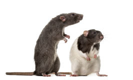 Two attentive Rats standing ,. On white Royalty Free Stock Image