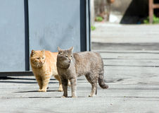 Two attentive waking cats. Red and grey cats walk stock photo
