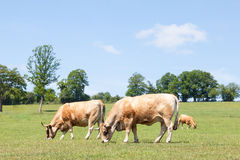 Two aubrac beef cows grazing in a spring pasture Royalty Free Stock Photography