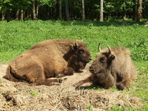 Two auroches. Two big auroches on a special farm in Russia Stock Images