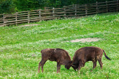 Two aurochs fighting in nature Royalty Free Stock Images