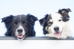 Two Aussie dogs at tailgate. Two happy Australian Shepherd dogs look out at the camera, over the tailgate of a pick-up truck royalty free stock images
