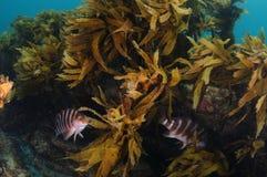 Two red moki among kelp stock images