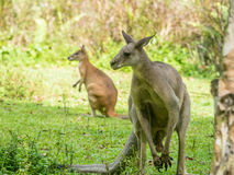 Two Australian brown kangaroos macropus rufus. Grazing on Stock Photos