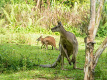 Two Australian brown kangaroos macropus rufus. Grazing on Royalty Free Stock Photography