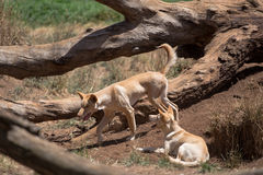 Two Australian Dingoes. Two light colored Australian dingoes at a zoo. Species: Canis lupus dingo stock image