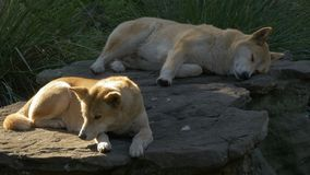 Two australian dingoes resting