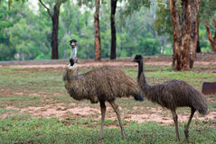 Two australian emus in wild Royalty Free Stock Images