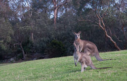 Two Australian kangaroos in grass field. A pair of Australian kangaroos standing in an open grass field Royalty Free Stock Image