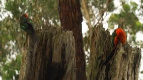 Two Australian King-Parrot Alisterus scapularis birds grooming on a tree in Australia stock video