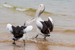 Two Australian Pelicans fighting for fish.  stock images