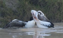 Two Australian pelicans fighting. On Cooper creek, South Australia royalty free stock image