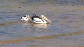 Two Australian Pelicans walking stock video