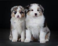 Two Australian puppy  sheepdog. Two australian sheepdog in frony of the camera Stock Photos