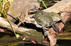 Two Australian Saw-shelled turtle sunbathing Stock Photos