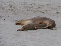 Two Australian sea lions Royalty Free Stock Photos