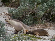 Two Australian sea lions Royalty Free Stock Photo
