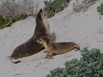 Two Australian sea lions Stock Photos