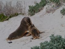 Two Australian sea lions Royalty Free Stock Image