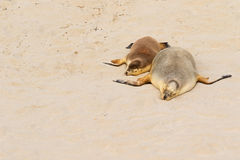 Two Australian Sea Lions sleeping on warm sand at Seal Bay, Kang Royalty Free Stock Photography