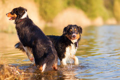 Two Australian Shepherd at the border of a lake Royalty Free Stock Photo