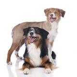 Two australian shepherd dogs Royalty Free Stock Photography