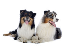 Two Australian Shepherd dogs. Close up of two Australian Shepherd dogs isolated on white background Royalty Free Stock Image