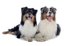 Two Australian Shepherd dogs. Lying next to each other with mouths open, isolated on white background Royalty Free Stock Images