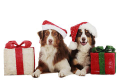 Two australian shepherd dogs on christmas Stock Photography