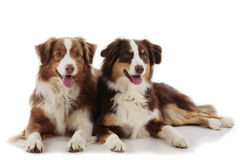 Two Australian shepherd dogs. Australian shepherd dogs isolated on white Royalty Free Stock Photography