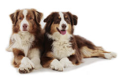 Two Australian shepherd dogs. Australian shepherd dogs isolated on white royalty free stock photos