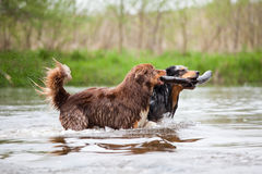 Two Australian Shepherd dogs in the river. Two Australian Shepherd dogs retrieve together one branch trough the river Stock Photography