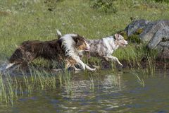 Two Australian shepherd dogs run Stock Image