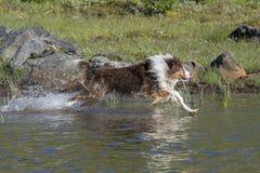 Two Australian shepherd dogs run Stock Photo