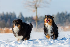 Two Australian Shepherd dogs are running in snow Royalty Free Stock Photos