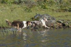 Two Australian shepherd dogs run Royalty Free Stock Images