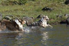 Two Australian shepherd dogs run Royalty Free Stock Photography
