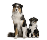 Two Australian Shepherd dogs, sitting. Two Australian Shepherd dogs, 1 year old and a puppy of 8 weeks old, sitting in front of white background stock photo