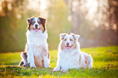 Two australian shepherd dogs in sunset light Stock Photo