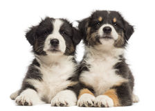 Two Australian Shepherd puppies, 2 months old Royalty Free Stock Photography